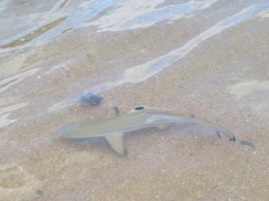 Requin à pointe noire (inoffensif!)